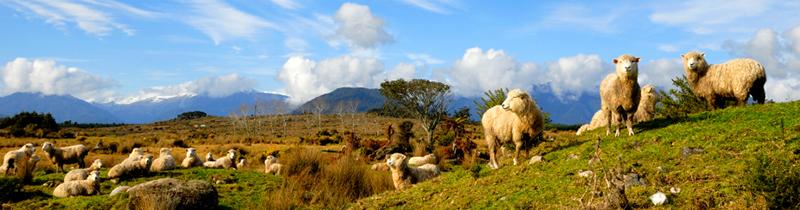 Erfolgreich-reisen.de  - Neuseeland - Schafherde